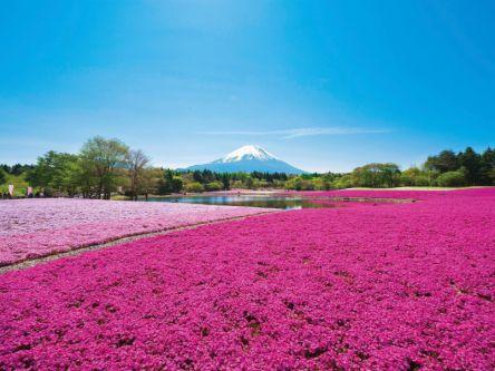 一面がピンクに染まる富士山麓の絶景イベント「2019富士芝桜まつり」開催中