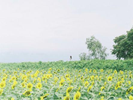 真夏の風物詩「ひまわり」に元気をもらおう! in 滋賀【Masaの関西カメラさんぽ】