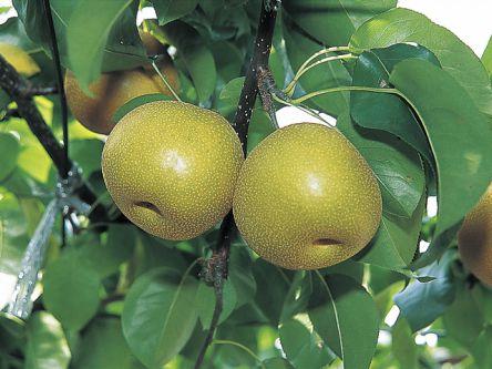 茨城県でおすすめの梨狩り(2020)時期や食べ放題、品種は?