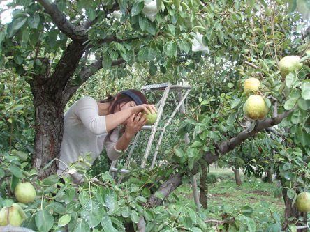 山梨県でおすすめの梨狩り(2020)時期や食べ放題、品種は?
