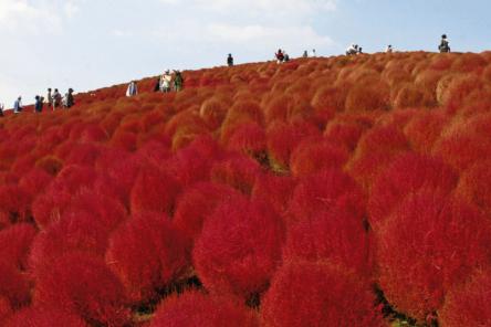 とにかくカワイイ!!茨城「国営ひたち海浜公園」で見たい真っ赤なまんまるコキア