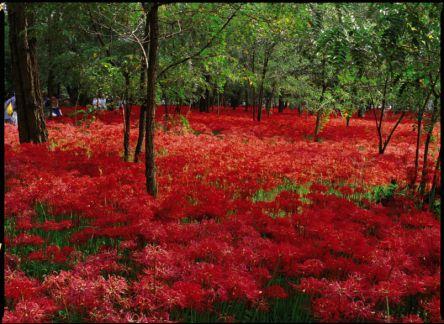 今が見ごろ!埼玉の林の下を赤く染める約500万本のヒガンバナの絶景へ
