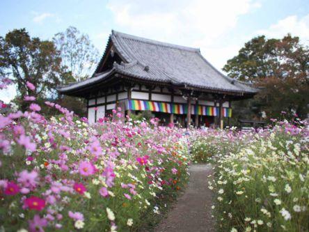 見ごろは今!古都・奈良の般若寺で満開のコスモスにうっとり