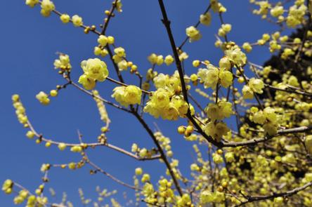 これから見ごろの花絶景!約3000本のロウバイが甘く香る埼玉・宝登山へ