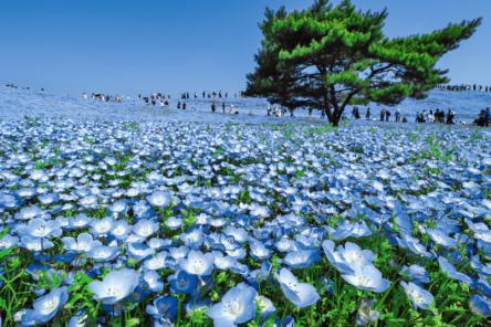 青い花の絶景!関東でネモフィラを楽しめるスポット7選