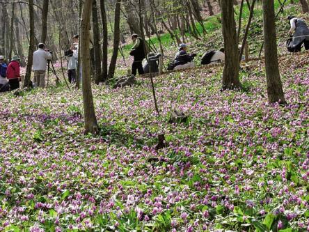 可憐な花のじゅうたんに感動!約150万株のカタクリが咲く栃木・三毳山