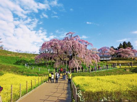 一生に一度は見たい! 樹齢1000年以上のベニシダレザクラ「三春滝桜」