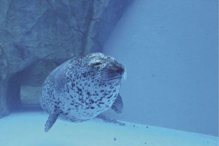 20年春、ゴマフアザラシの赤ちゃんに会えるかも!?  秋田・男鹿水族館GAO