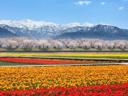 富山県のお花見・桜の名所(2020)夜桜・ライトアップや桜祭りも