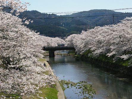 山口県のお花見・桜の名所(2021)夜桜・ライトアップや桜祭りも