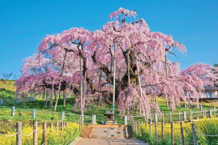春に華やぐ東北有数の桜の名所 感動! 福島・三春滝桜&シダレザクラ