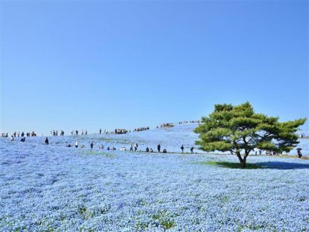 一生に一度は見たいネモフィラの絶景!春の茨城シーサイドドライブプラン