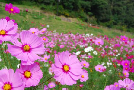 秋の花絶景に癒やされる!関東のコスモス畑3選