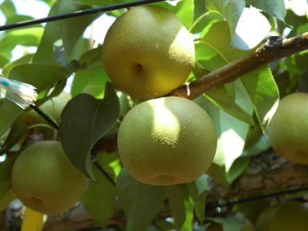 千葉県でおすすめの梨狩り(2020)時期や食べ放題、品種は?