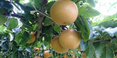 広島県でおすすめの梨狩り(2020)時期や食べ放題、品種は?