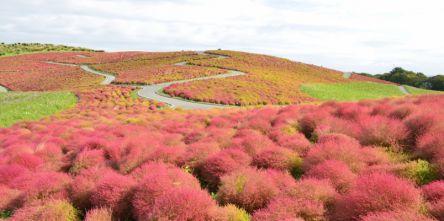 「ひたち海浜公園」の秋の絶景!今年のおすすめは奇跡の「グラデーションコキア」
