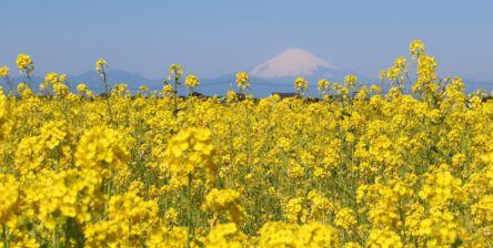 10万本の菜の花畑と富士山が絶景!横須賀「ソレイユの丘」へ日帰り旅