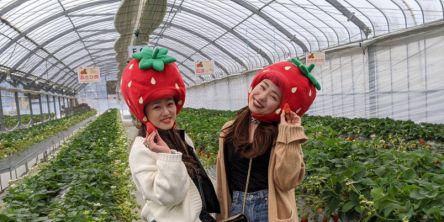 岡山県でおすすめのいちご狩り2021(時期:12月~6月)食べ放題が人気!