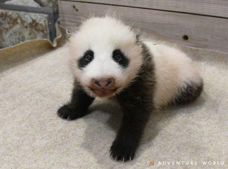 アドベンチャーワールドのかわいすぎるパンダの赤ちゃん!お名前募集中です