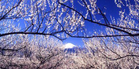 関東の梅の名所7選!例年の見頃や梅まつりの開催有無もチェック!