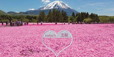 関東最大級!約52万株の芝桜の絶景「2021富士芝桜まつり」が4月17日(土)開幕