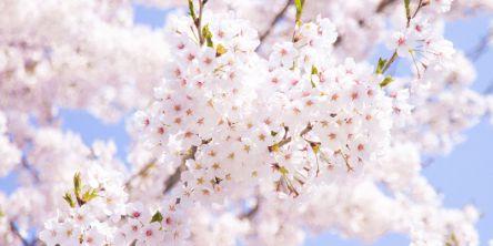 中国・四国のお花見・桜名所ランキング(2021)人気の夜桜や桜祭りも!