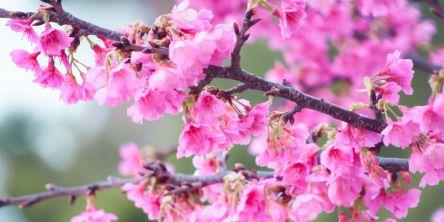 沖縄県のお花見・桜の名所(2021)早咲きのピンクの寒緋桜が見事!