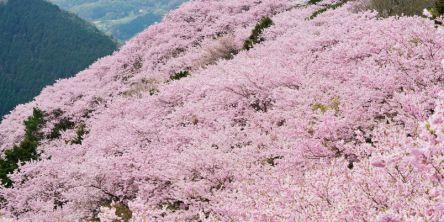 徳島県のお花見・桜の名所(2021)夜桜・ライトアップや桜祭りも