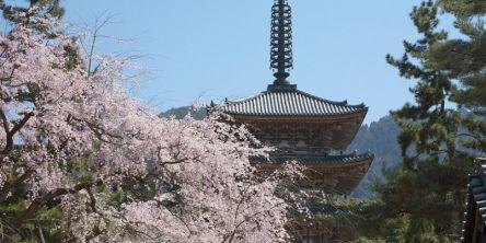 京都府のお花見・桜の名所(2021)夜桜・ライトアップや桜祭りも