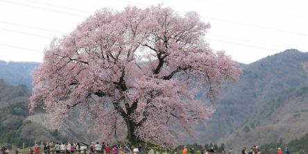 山梨県のお花見・桜の名所(2021)夜桜・ライトアップや桜祭りも