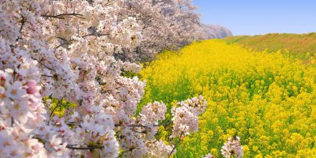 埼玉県のお花見・桜の名所(2021)夜桜・ライトアップや桜祭りも