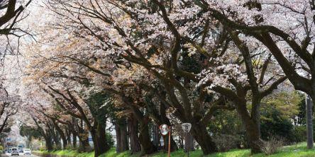 栃木県のお花見・桜の名所(2021)夜桜・ライトアップや桜祭りも