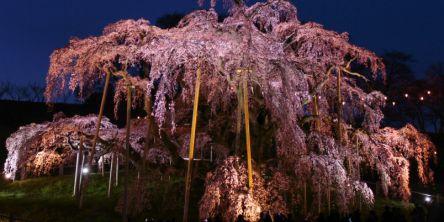 福島県のお花見・桜の名所(2021)夜桜・ライトアップや桜祭りも