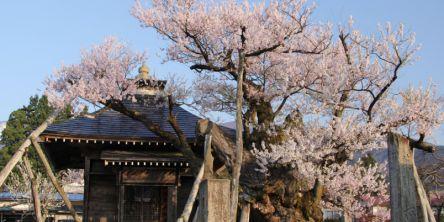 山形県のお花見・桜の名所(2021)夜桜・ライトアップや桜祭りも