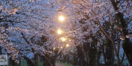 秋田県のお花見・桜の名所(2021)夜桜・ライトアップや桜祭りも