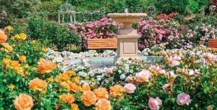 関東最大級のバラの名所「京成バラ園」で「スプリングフェスティバル It's so in Bloom!」開催