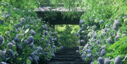 アジサイ寺で有名な北鎌倉・明月院へ!境内の素敵な茶屋で優美なお抹茶タイム