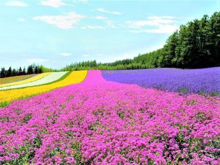 【富良野・美瑛】定番お花畑5選!カラフルな丘をめぐる初夏の北海道
