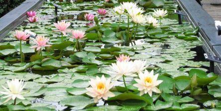 草津市立水生植物公園みずの森のスイレンが見頃に。朝に花開く「スイレン展」開催