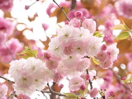 茨城県のお花見・桜の名所(2021)夜桜・ライトアップや桜祭りも
