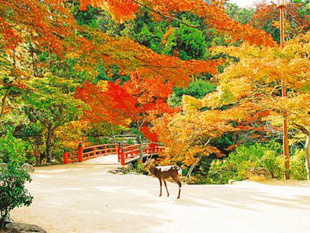 紅く染まる大鳥居!世界遺産・嚴島神社の表参道さんぽ&色づく弥山で紅葉狩り