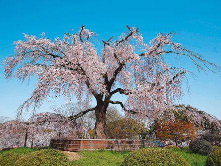 近畿(関西)のお花見・桜名所ランキング(2021)人気の夜桜や桜祭りも!