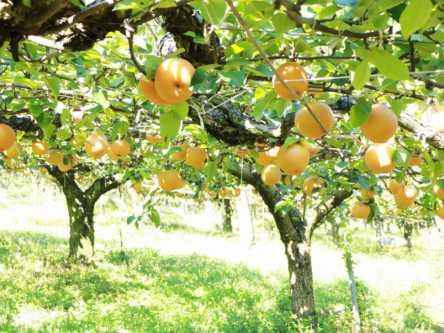 福岡県でおすすめの梨狩り(2020)時期や品種は?