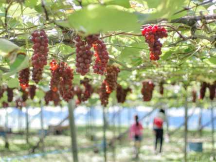 千葉県でおすすめのぶどう狩り!2020年の時期や食べ放題、品種は?