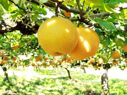 福島県でおすすめの梨狩り(2020)時期や食べ放題、品種は?