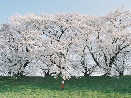 """""""京都の桜""""は朝一番がねらい目【Masaの関西カメラさんぽ20】"""