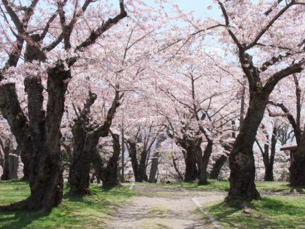 北海道のお花見・桜の名所(2021)夜桜・ライトアップや桜祭りも