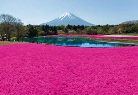 鮮やかで華やか!富士山をバックに映える芝桜「2018 富士芝桜まつり」今年も開催決定