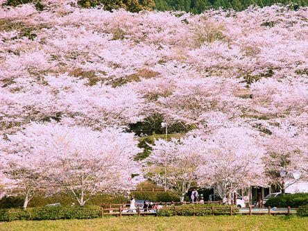 宮崎県のお花見・桜の名所(2021)夜桜・ライトアップや桜祭りも