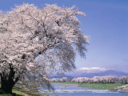 宮城県のお花見・桜の名所(2021)夜桜・ライトアップや桜祭りも